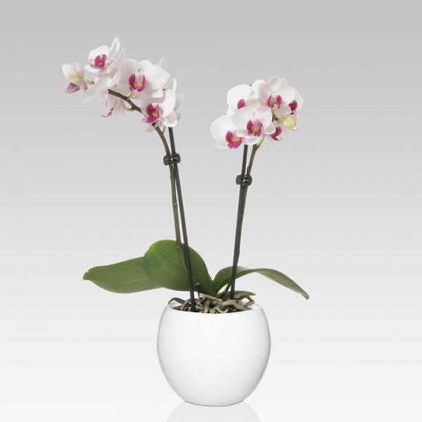 19_phalaenopsis.jpg